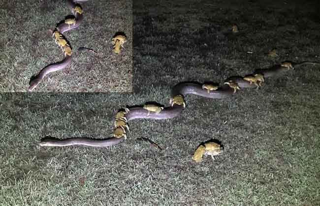 A snake that lifts the frogs in australia