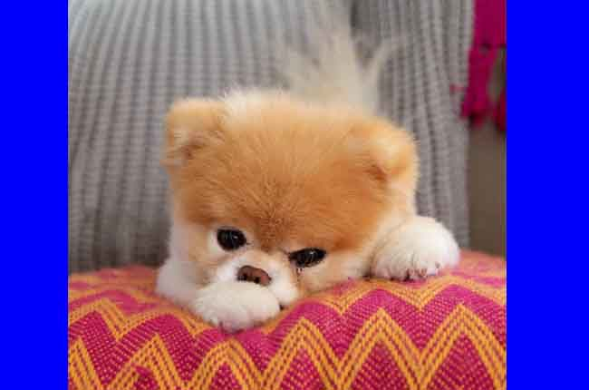 The World's Cutest Dog, Boo, Dies