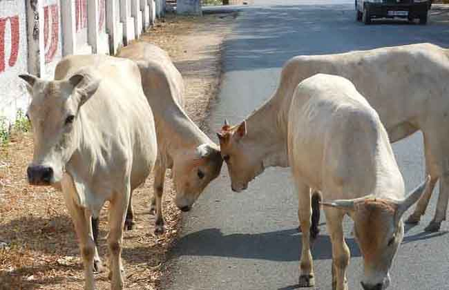 cows into police stations