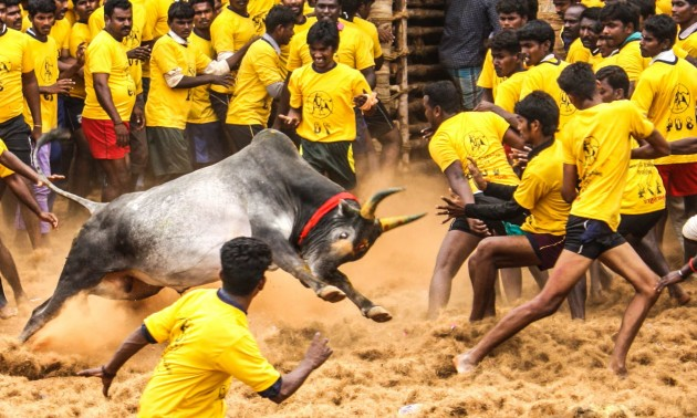 Jillakattu Contests In Tamil Nadu