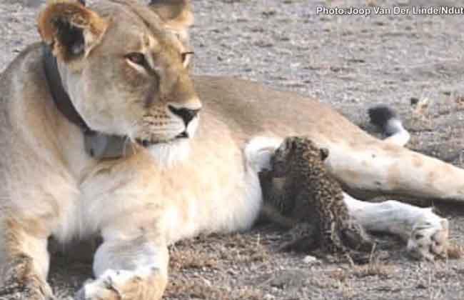 a wild lioness is seen nursing a baby leopard