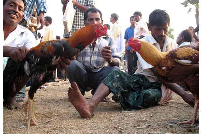 Sankranti Festival Third Day Kanuma Celebrations In Andhra Pradesh