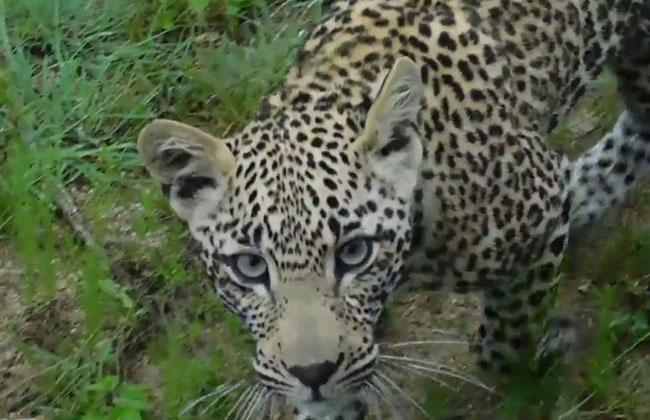 Leopard wandering in Patan Cheru icrisat