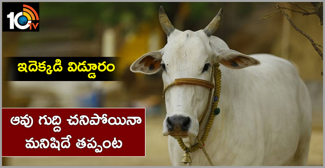 MAN DEAD IN COW ACCIDENT, NO CASE FILED