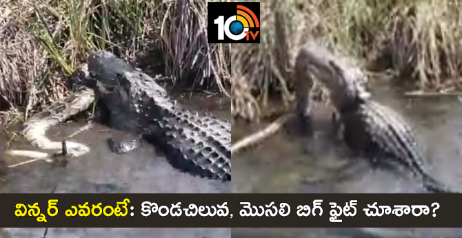 Video Viral : Terrifying Alligator Vs Python Big Fight