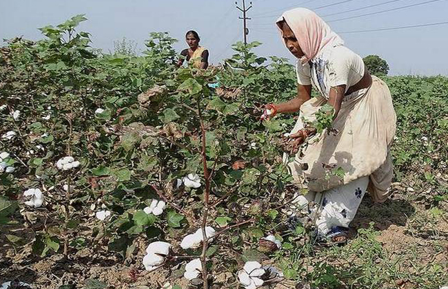 The ignorance is immersed Adilabad cotton farmer tears of distress