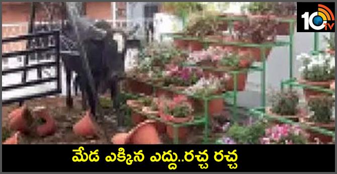 Bull climbed up of Terrace  Uttar Pradesh lucknow