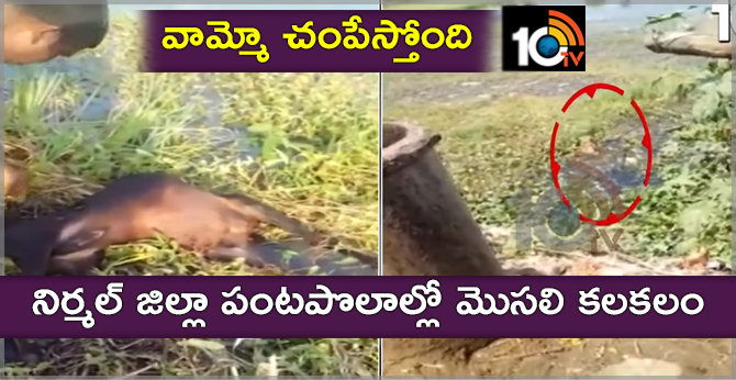 Crocodile Found In Farm Fields In Nirmal District