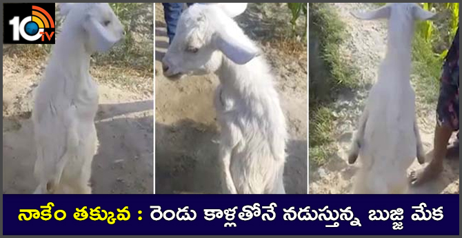 Goat walking with two legs