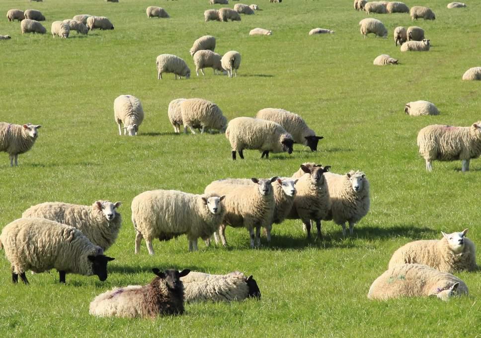 15 sheep admission enrolled in france school in Belledonne village