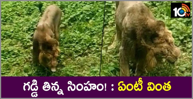 Eve a lion can eat grass In Khamba forest area in Gujarat's Amreli district