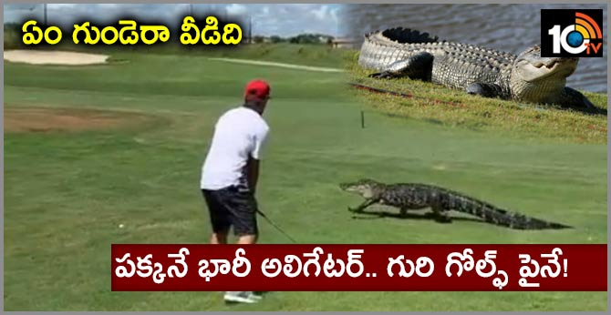 Golfer continues playing as huge alligator casually strolls