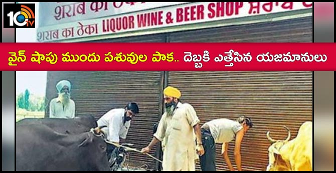 Irate residents tie cattle outside shop..Furore over reopening of liquor vend in Mohali