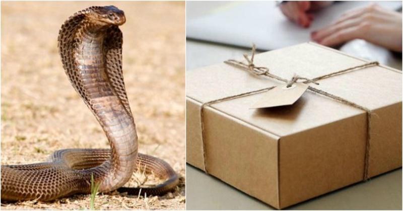 A man found a Cobra snake inside a courier parcel