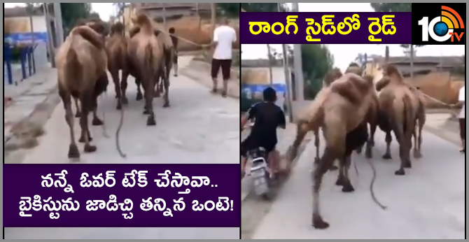 Don't Come To My Wrong Side: Camel Kicks A Biker Off His Bike For Trying To Overtake It