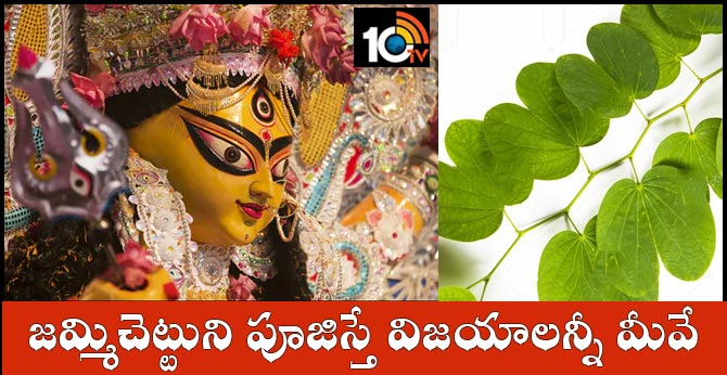 Dussehra special  Jummi tree that gives success ..