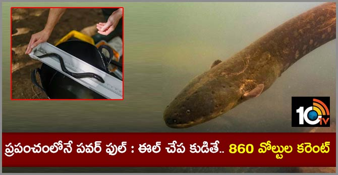 World's Most Powerful Electric Eel Found In Amazon Rainforest, It Can Deliver Jolt Of 860 Volts