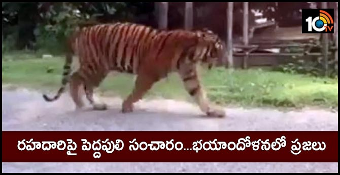 tiger wandering on the road, People fear