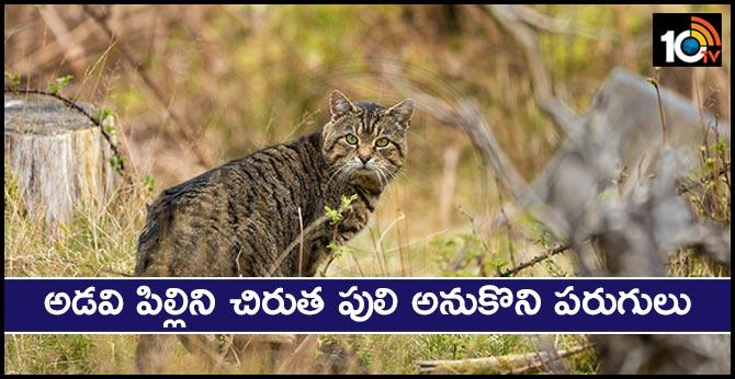 A wild cat Caused a sensation near Shamshabad airport