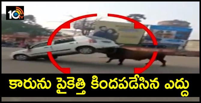 The bull lifts car with angry