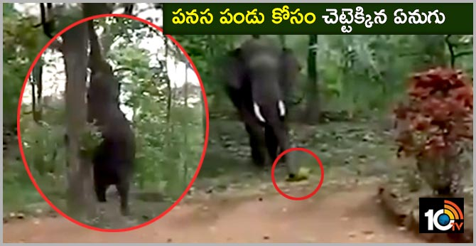 Video of Elephant Climbing Tree to Pluck Jackfruit Goes Viral