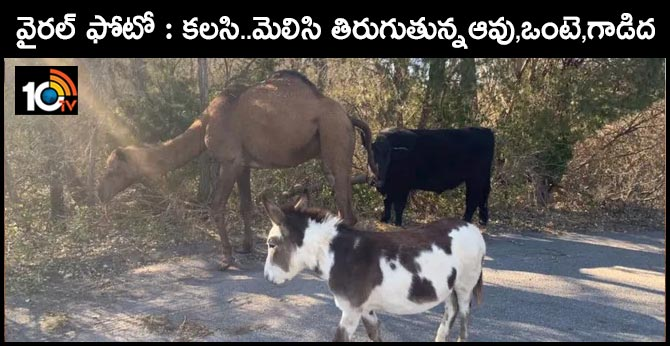 camel,donkey, cow, found wandering together on kansas road