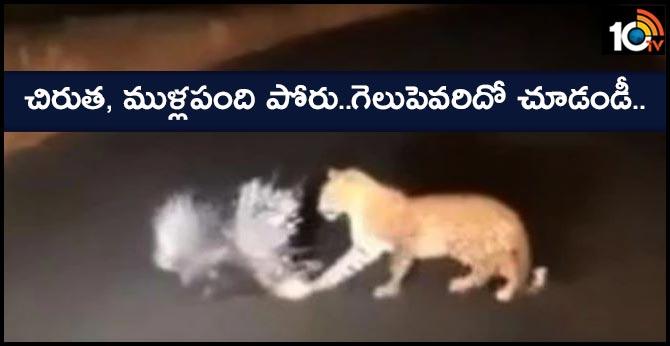 leopard vs porcupine deadly battle video