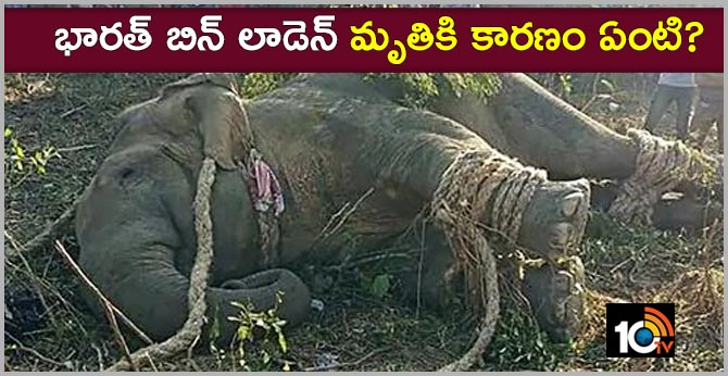 reason behind bin laden elephant death