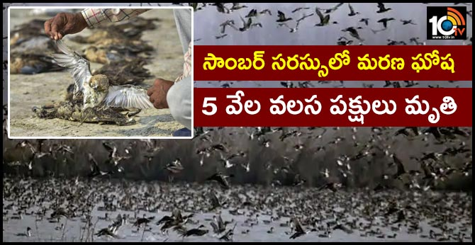 thousands of migratory birds die mysteriously in rajasthan s sambhar lake