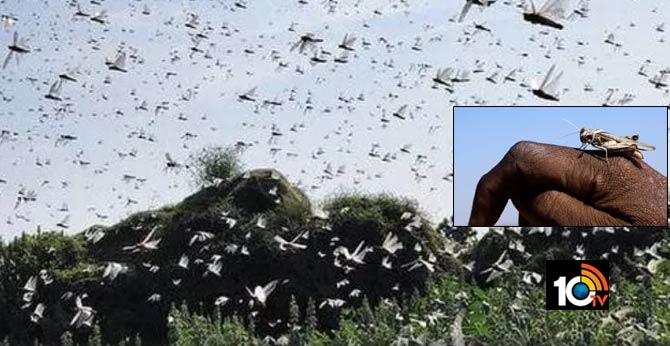 After massive locust invasion from Pakistan, Centre sends 11 teams to Gujarat