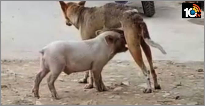 Dog give milk to baby pig