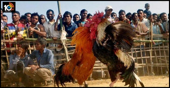 High Court key comments on Sankranti Cock Fight
