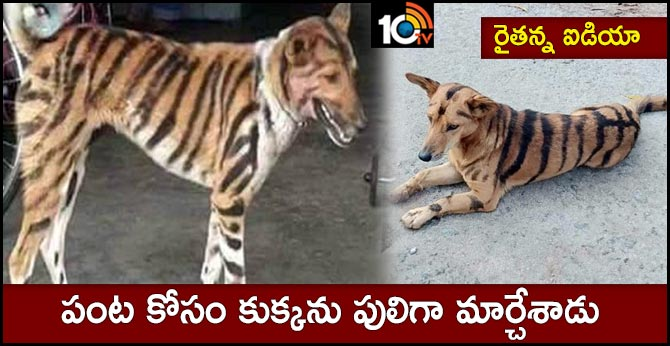 Shivamogga farmer paints tiger stripes on dog to stop monkeys from eating his crops