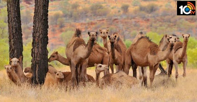 Australia To Kill Up To 10,000 Camels Amid Wildfires: Report