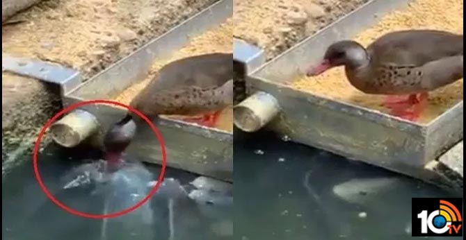 Duck 'Feeds' Grains to Fish in Water in Viral Video