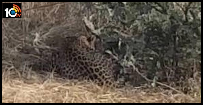 Leopard caught in a noose set for wild boars