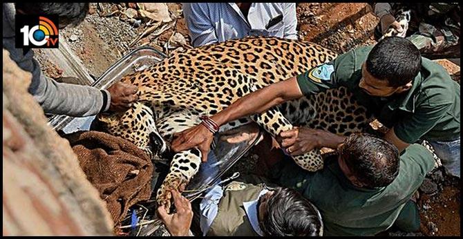 Leopard on terrace of Shadnagar house captured