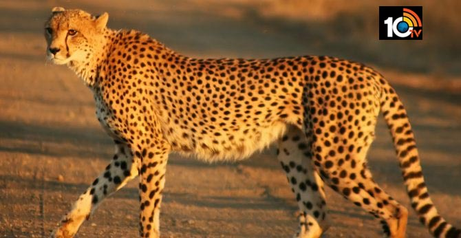 SC allows introduction of African Cheetahs to India — MP sanctuary to be the likely host