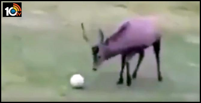 Ever seen a deer play football? Adorable video teaches life lesson and will win your heart