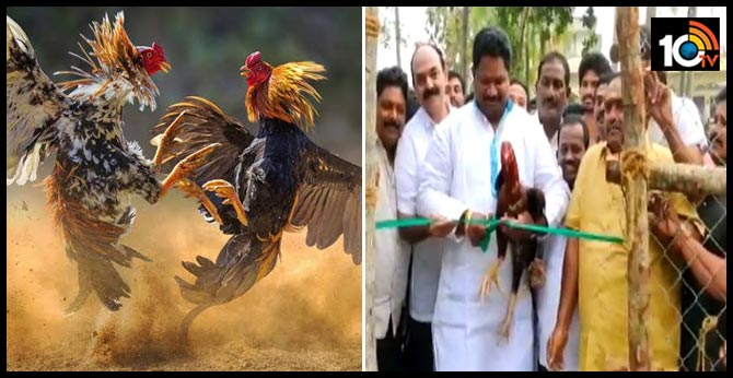 chicken races starting in East Godavari district