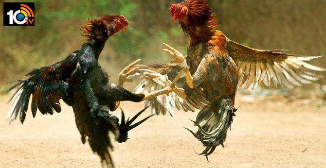 which kind of hen will win in sankranti fight