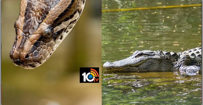 Alligator chomps down invasive Burmese python for meal