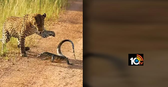 Leopard and Monitor Lizard.This lizard is a fighter Leopards are excellent hunters