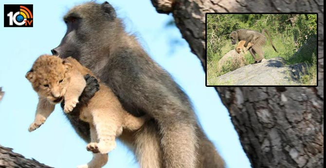 Male baboon monkey kidnaps lion cub in South africa Safari park starts frooming and caring for it
