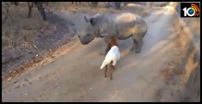 Orphaned rhino plays with goat in heartwarming..viral video