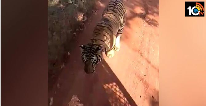 Tiger Chases Bus On Jungle Safari In Chhattisgarh. Watch Terrifying Video