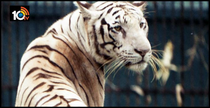 Tigers must be punished for eating cows like humans, says Goa MLA