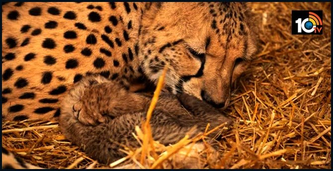 first time in the world two cheetah cubs born within vitro technology