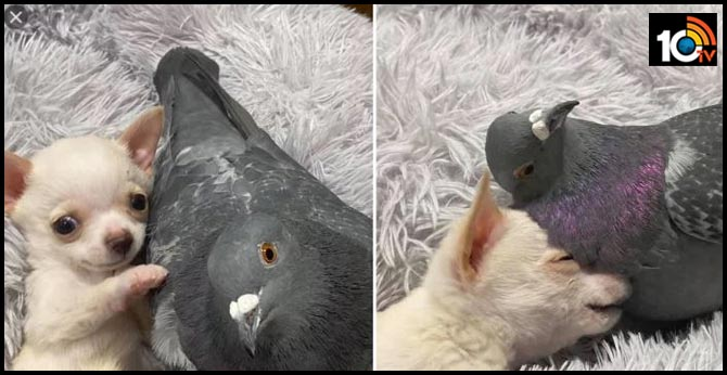 puppy and pigeon with disabilities form unlikely friendship
