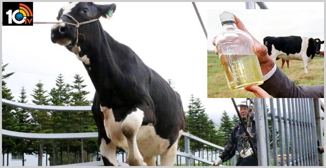 Japanese organic products maker turns cow urine into gold